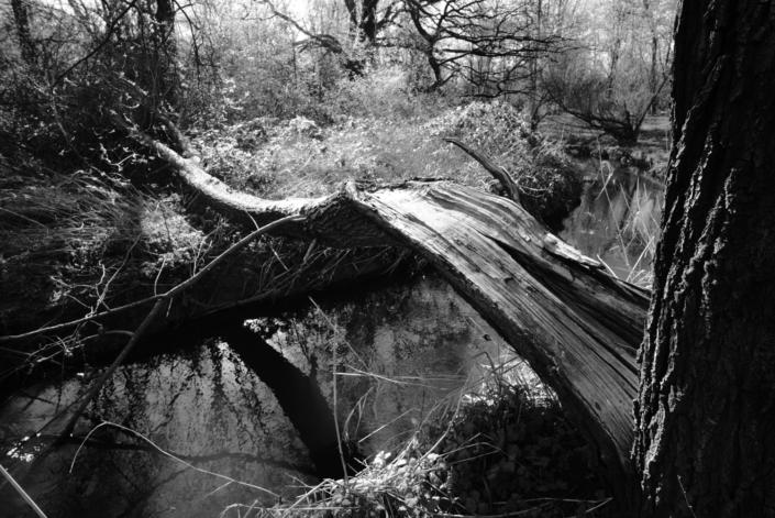 Vom Blitz getroffen, gespaltener Baum